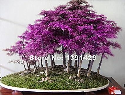 200pcs Rare Purple Dawn Redwood Bonsai Tree Metasequoia Glyptostroboides Diy Home Garden Very