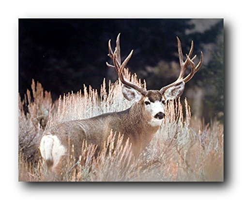 Large Mule Deer Big Antler Rack Animal Wall Decor Wildlife Art Print Poster