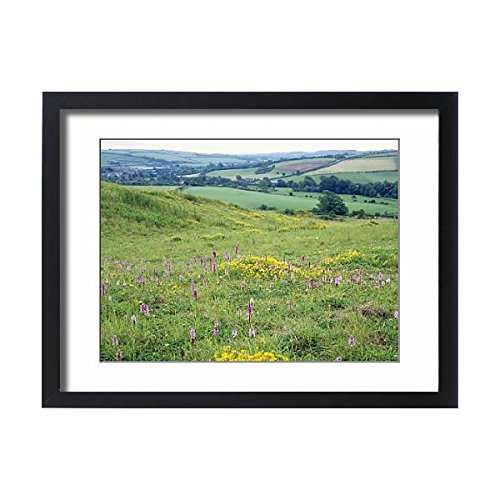 Framed 24x18 Print of DORSET, Chalk Downland - in old quarry with Common Spotted Orchids ()