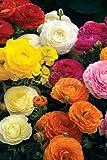 Collezione Ranuncolo Mix di Colori - (120 tuberi) - Bulbi da fiore / fiori da giardino - SPEDIZIONE GRATUITA