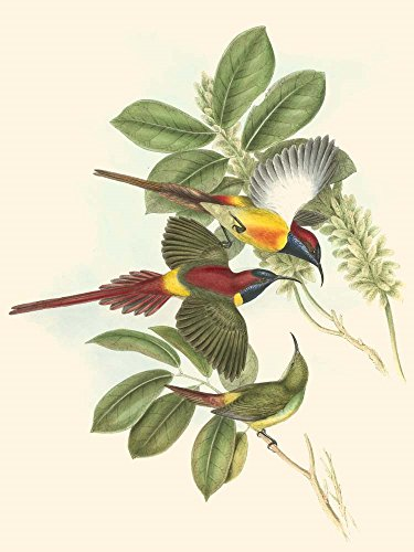 (Small Birds of Tropics III by John Gould Art Print, 8 x 10 inches)
