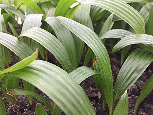 Cold Hardy Windmill Palm Seedlings - Trachycarpus Fortunei