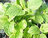 Lemon Balm Live Herb Plant