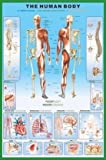 HUGE LAMINATED The Human Body Anatomy Educational POSTER measures 36 x 24 inches (90 x61cm)