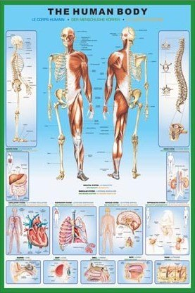 HUGE LAMINATED The Human Body Anatomy Educational POSTER measures 36 x 24 inches (90 x61cm) Laminated Posters