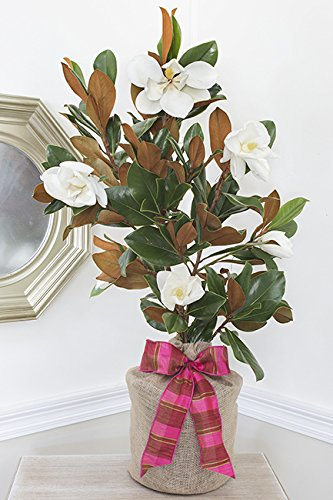Southern Magnolia Birthday Gift Tree by The Magnolia Company - Get Beautiful and Fragrant Flowers on a Lush Birthday Magnolia Tree Gift by The Magnolia Company (Image #5)