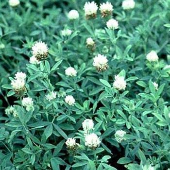 Outsidepride Trifolium Alexandrinum Frosty Berseem Clover Seed - 10 LBS by Outsidepride