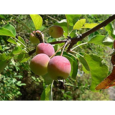 15 Seeds Plum-leaved Apple, Plumleaf Crab Apple Tree (Malus prunifolia) : Garden & Outdoor