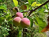 15 Seeds Plum-leaved Apple, Plumleaf Crab Apple Tree (Malus prunifolia)