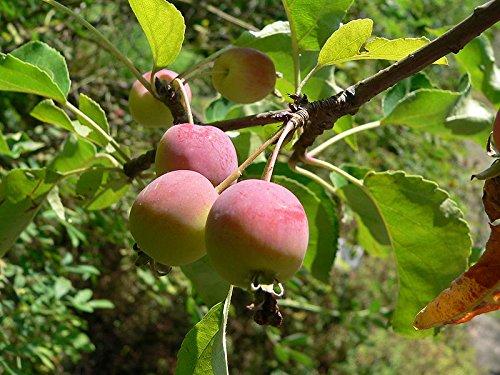 15 Seeds Plum-leaved Apple, Plumleaf Crab Apple Tree (Malus prunifolia)