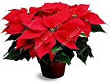 100 pcs Poinsettia Seeds, Euphorbia Pulcherrima,potted Plants, rare Flowering Plants seeds for hjome decoration