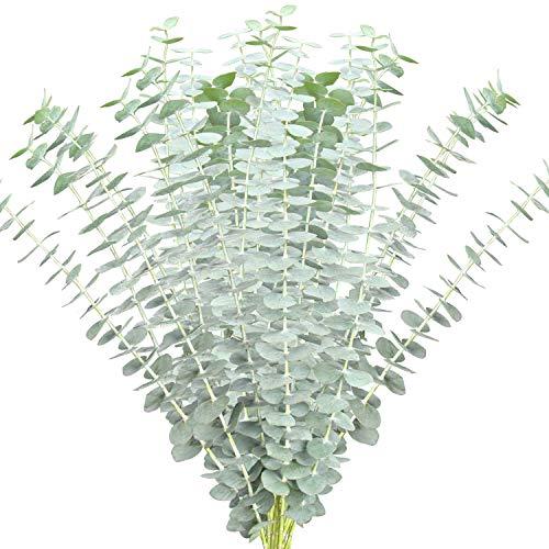 Best eucalyptus stems fresh
