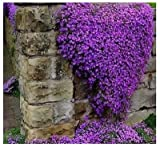 Aubrieta Cascade Purple Ground Flower Rock Cress Beautiful Garden, 300 seeds