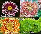 Chrysanthemum Flower Seeds 4 Variety Pack Garden Seeds Product#401