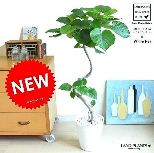 LAND PLANTS 【観葉植物】 ウンベラータ (3Dカーブ 白セラアート鉢) B06X9J9PJ9