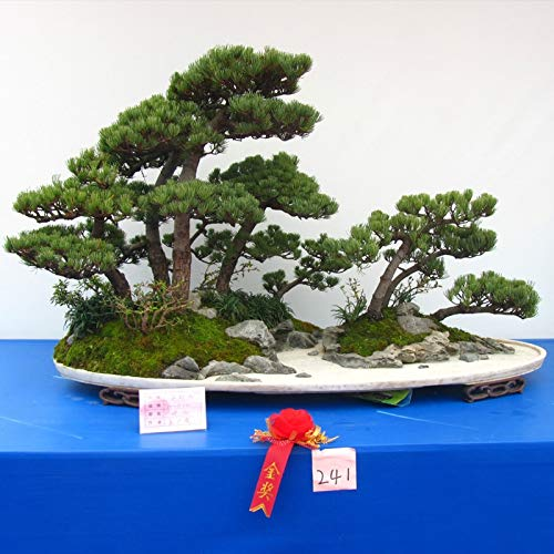 Newest Air Seed Plant Hot Sale Unique Thunbergii Black Pine Tree Potted Plants Balcony Seating Japanese Pine Tree 120PCS (Japanese White Pine Bonsai Tree For Sale)