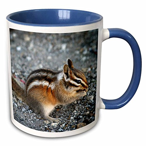 3dRose (mug_157579_6) Eating chipmunk in Yosemite National Park - animal, nature, rodent, wildlife, mammal, wild, squirrel - Two Tone Blue Mug, 11oz by 3dRose