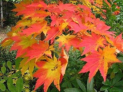 Korean Maple, Acer Pseudosieboldianum, Tree Seeds (Fall Color) (30 Seeds)