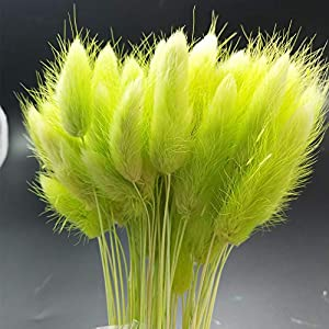 50 Pcs Dried Flowers Natural Setaria Viridis Decorative Foxtail Grass Bouquet, Dry Dog Tail Grass , Preserved Pampas Grass Plants Table Decoration Accessories Party Beach Theme Decorations (GREEN) 1