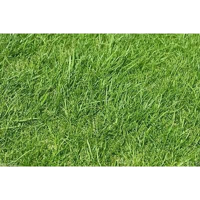 Foragem RyeGrass-Annual, PURE SEEDS, Cover Crop-Grazing Use: Beef, Dairy, Sheep : Garden & Outdoor