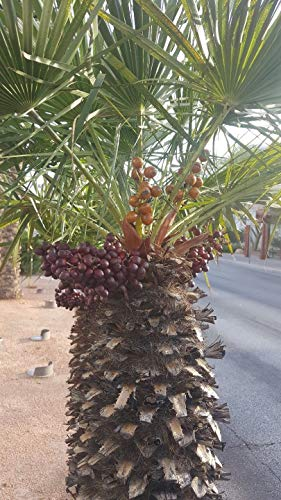 Chamaerops humilis European Fan Palm, Mediterranean Fan Palm (12 Seeds) - Mediterranean Palm Fan