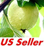 20 PCS TROPICAL GUAVA PLANT SEEDS E13, Psidium Guajava Fruit Tree Seed