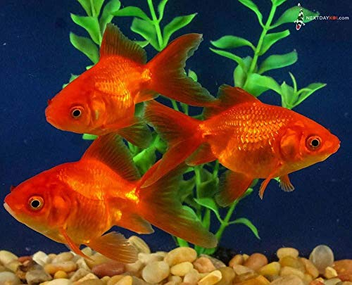 "Live Goldfish | 2.5-3"" Red Fantail Fish for Pond, Aquarium and Tank, Healthy and Bio-Secure 