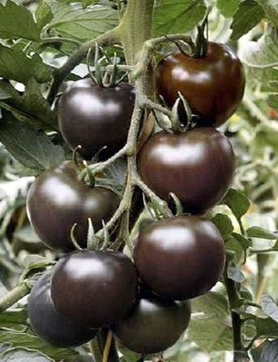 SD0034 Tomato Vegetable Seeds, Rare Black KOREAN TOMATO Vegetable Seeds,Live Seeds (8 Seeds)
