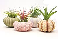 4 Pcs Sea Urchin Air Plant Lot / Kit Includes 4 Live Plants and 4 Sea Shells / Housewarming Home Decor Accents