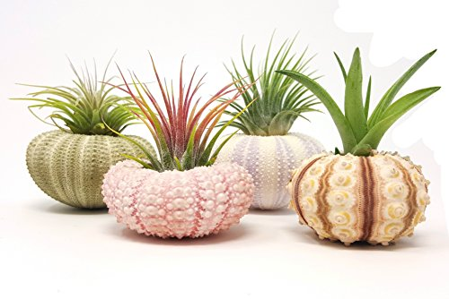 4 Pcs Sea Urchin Air Plant Lot / Kit Includes 4 Live Plants and 4 Sea Shells / Housewarming Home Decor Accents Sea Urchin Shell