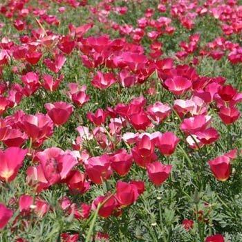 Outsidepride California Poppy Carmine King - 10000 Seeds California Poppy Seed Paper