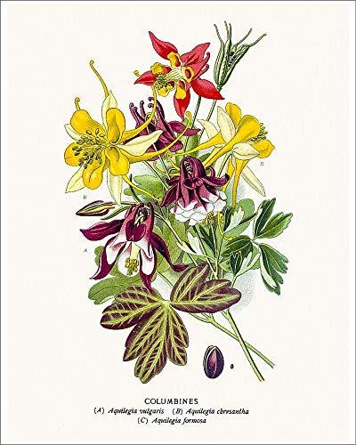 (Media Storehouse 10x8 Print of Columbine Flowers (18851117))