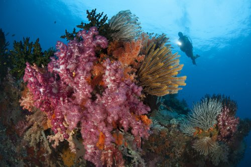 A Diver Approaches Colorful Soft Corals and Crinoids on the Reefs of Raja Ampat Wall Decal - 24 Inches W x 16 Inches H - Peel and Stick Removable Graphic