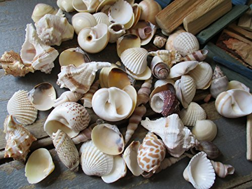 From The Attic Crafts Sea Shells and Wood Bowl Filler Set Beach Decor in Auqa, Seagrass Green and Natural by From The Attic Crafts (Image #3)
