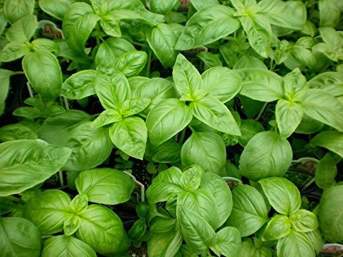 - Basil Seeds, Genovese, Heirloom Herbs, Sweet Basil, Bulk Seeds, Non-GMO, 500ct