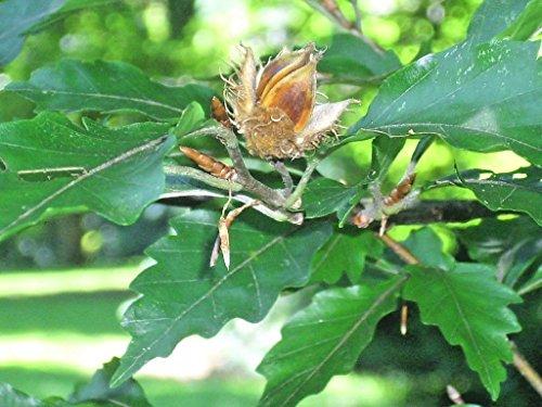 15 AMERICAN BEECH SEEDS - Fagus grandifolia