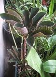 Bulb of AMORPHOPHALLUS ATROVIRIDIS Aroid Plant