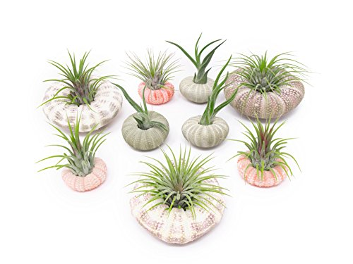 - Air Plant Sea Urchin Kit (9 Variety Pack) - Natural Shell Containers / Holders for Live Tillandsia - Multicolor Stand / Jellyfish Pot for Indoor Home Decor by Aquatic Arts