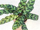 "Calathea Lancifolia Rattlesnake Plant Lance Leaf Prayer Plant Weird Unique Plant Live House Plant Office Plant Desk Plant in 4"" inch Pot"