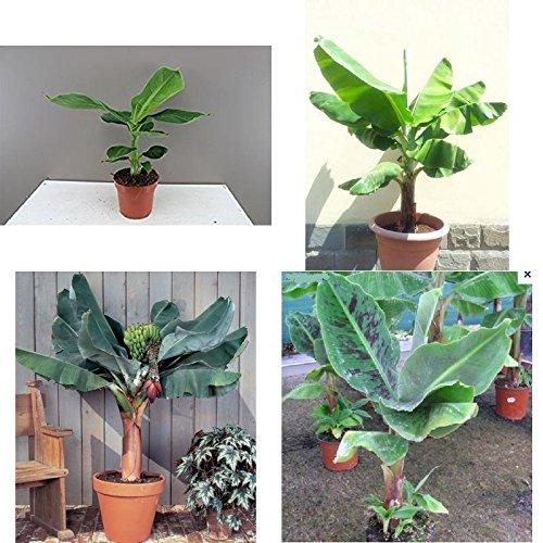 Banana Plant Fruit Tree Musa Dwarf Cavendish Live 3