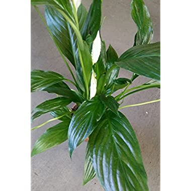 Hirt's Peace Lily Plant - Spathyphyllium - Great House Plant - 4  Pot
