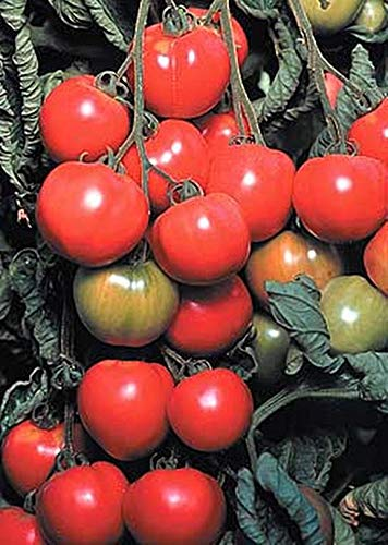 early cascade tomato seeds - 1
