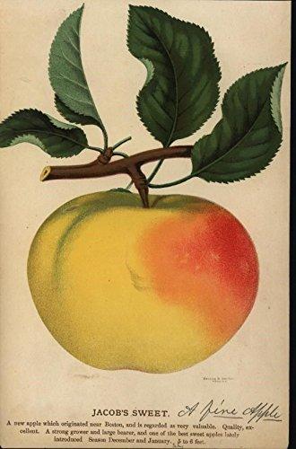 jacob-sweet-succulent-juicy-fruit-apple-c1880-90-antique-color-lithograph-print