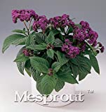 AGROBITS Novel Plant Heliotropium Arborescens Bonsai for Planting 100pcs, Beautifying Balcony Bonsai Flower Garden Heliotrope Bonsai