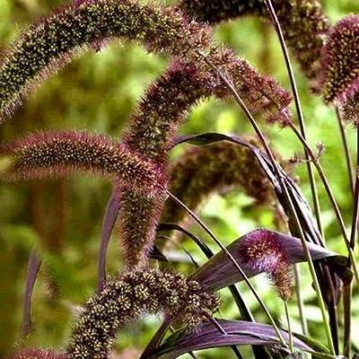 Cutdek Foxtail Millet Red Jewel Ornamental Grass Seeds (Setaria Italica) 140+Seeds : Garden & Outdoor