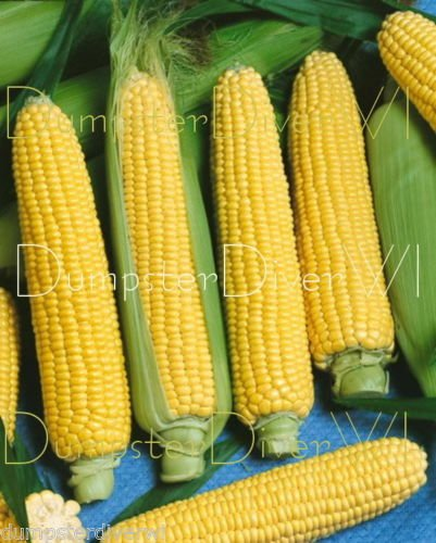 - Nk 199 Yellow Hybrid Sweet Corn 34+ Seeds 8