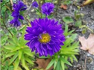"""SD1500-0411 """"Tongue Plena"""" Aster Flower Seeds, Rare Blue Color Flower Aster Flower Seeds, 60-Days Money Back Guarantee (250 Seeds)"""