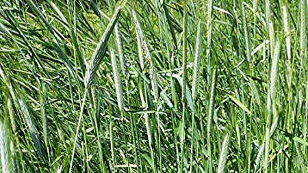 Hay Production Timothy Deer Wildlife Food Plot Seeds Cover Crop