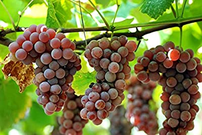 Organic Delaware Grape 10 Seeds UPC 648620997722 + 1 Plant Marker Best American Table Grape