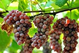 buy Organic Delaware Grape 10 Seeds UPC 648620997722 + 1 Plant Marker Best American Table Grape now, new 2018-2017 bestseller, review and Photo, best price $5.79